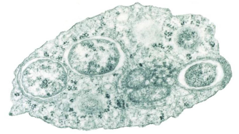 parassita Wolbachia zanzare killer