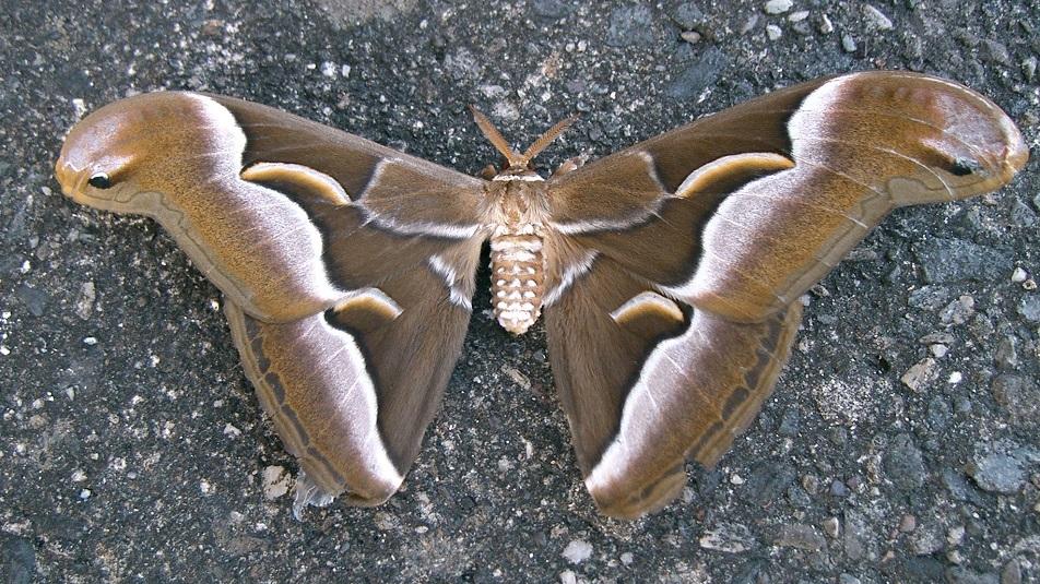 Farfalla rarissima avvistata a Ravello, in Lombardia