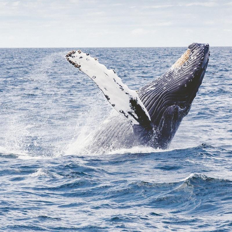 la caccia alle balene