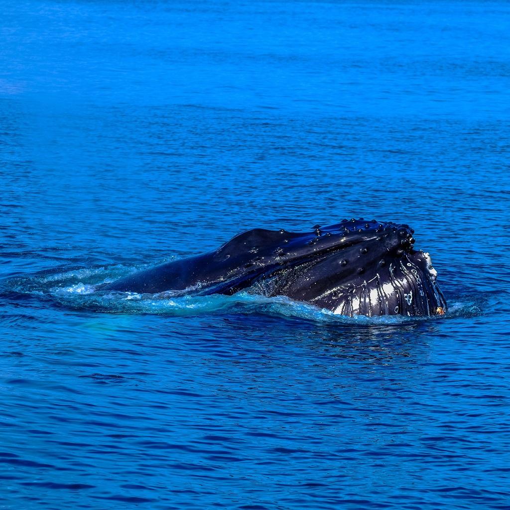Ridisegnata l'evoluzione delle balene La sopravvivenza delle balene foto
