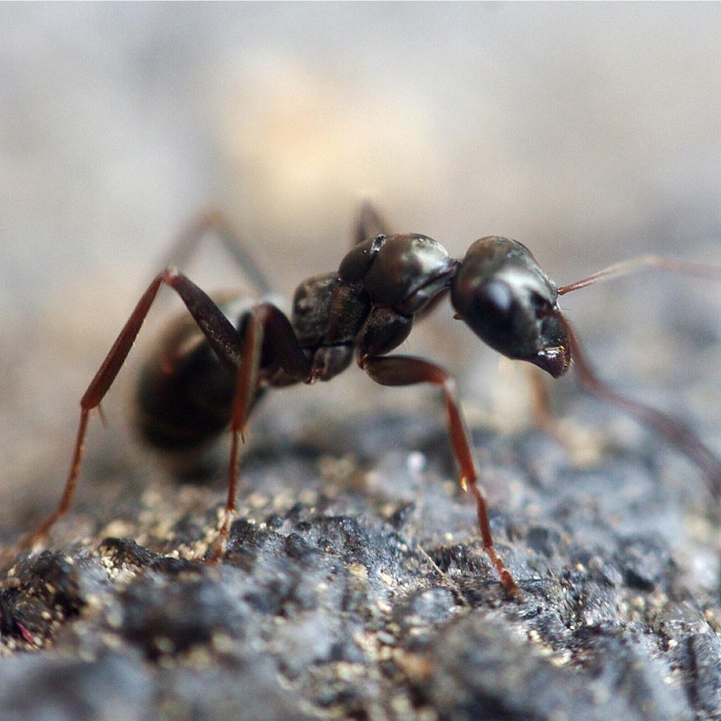Le formiche che suturano le ferite