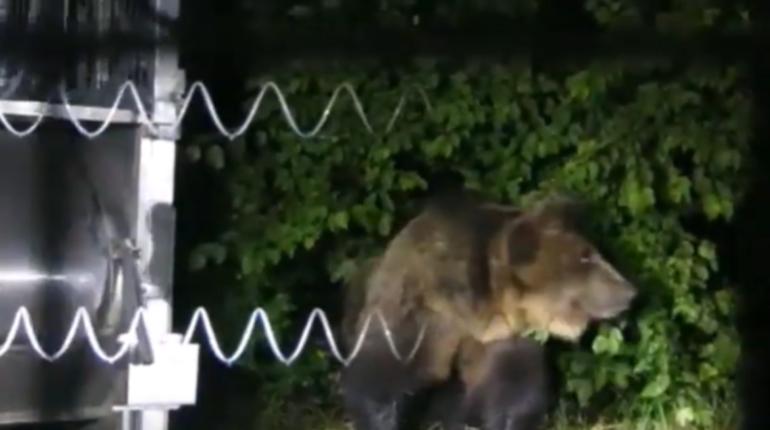 Aggiornamento fuga dell'orso M49