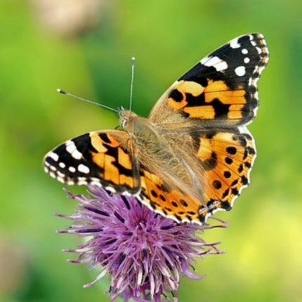 Milioni di farfalle raggiungono la Gran Bretagna foto