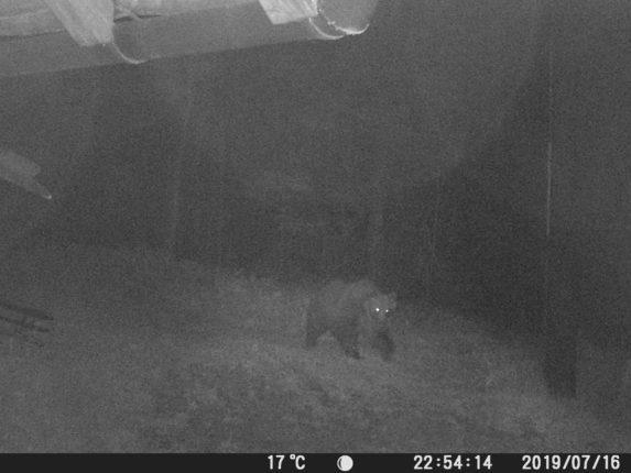 Vietato abbattere M49 l'orso