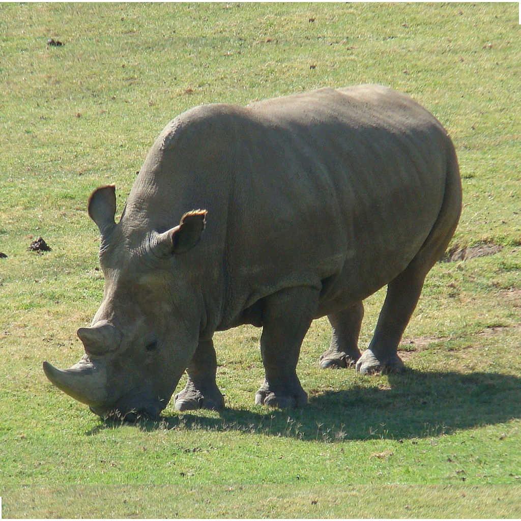 In Europa torneranno i rinoceronti