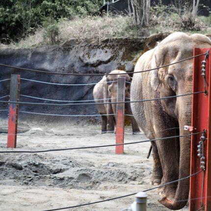 elefanti selvatici negli zoo