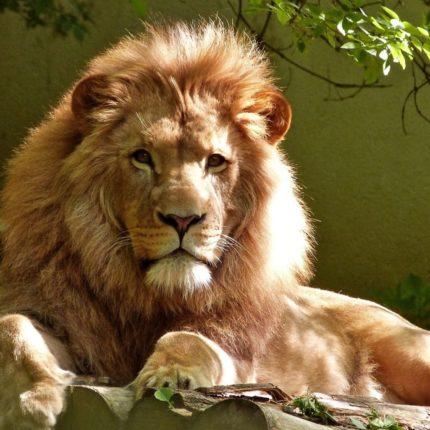 Sos estinzione leoni
