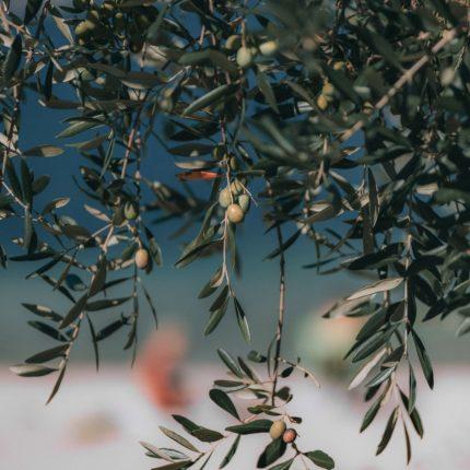 Raccolta olive 2019