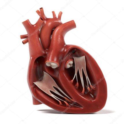 Un cuore umano in 3d