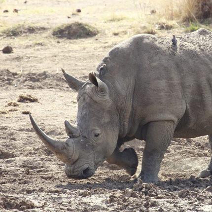 Embrioni salvano rinoceronte bianco