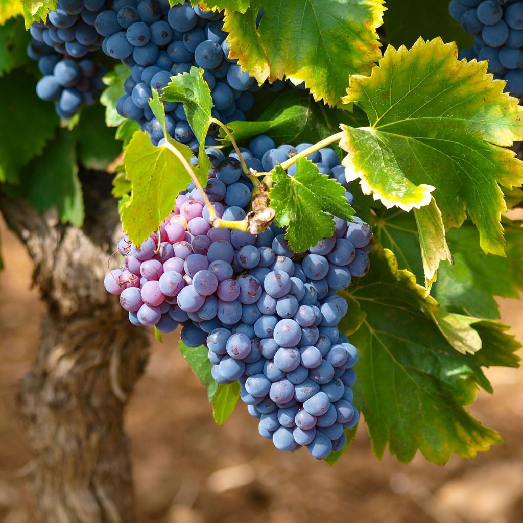Emergenza furti uva e olive in Puglia