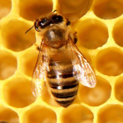 Stato messicano approva legge a favore delle api foto