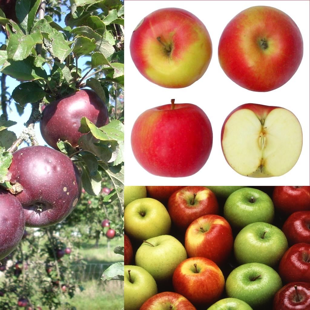 le proprietà benefiche della mela