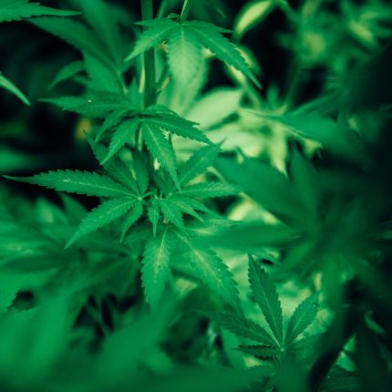 La cannabis a tavola