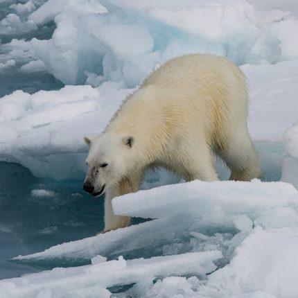 Rischio estinzione anche per l'orso polare foto