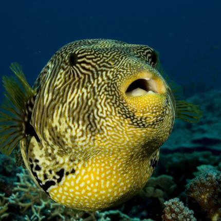 Veleno pesce palla come sostituto
