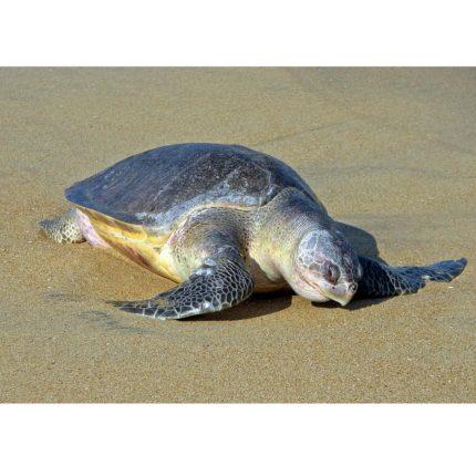 Tartarughe Olive Ridley sulla spiaggia in India foto