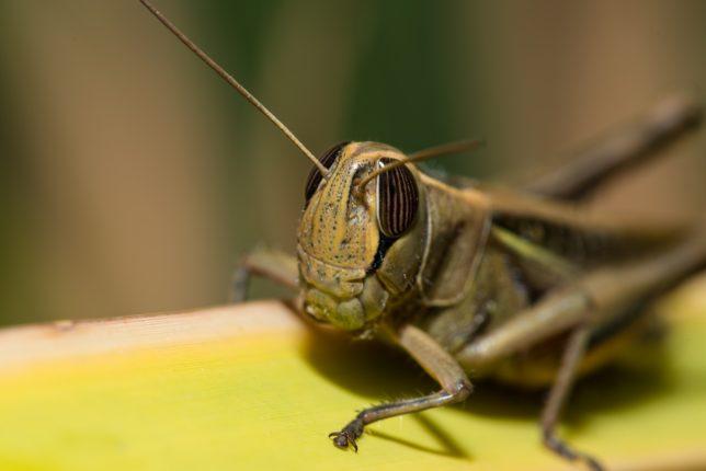 Assalto locuste in Africa carenza pesticidi dopo Covid