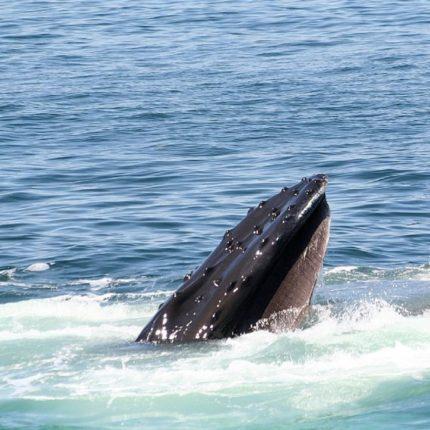 Un balenottero è stato avvistato a largo dell'Isola d'Elba foto