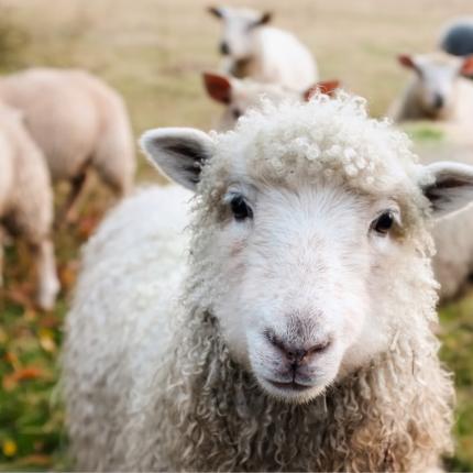 effetti della ketamina sulle pecore