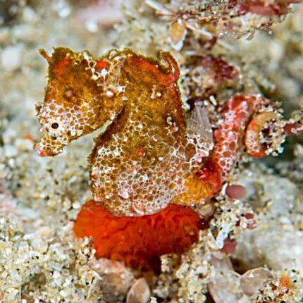 Cavallucci marini pigmei