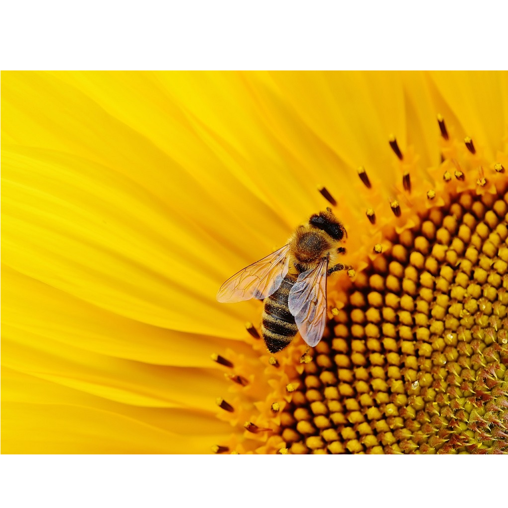 Veleno delle api uccide cellule del cancro al seno
