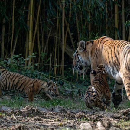 Prima uscita per i tigrotti