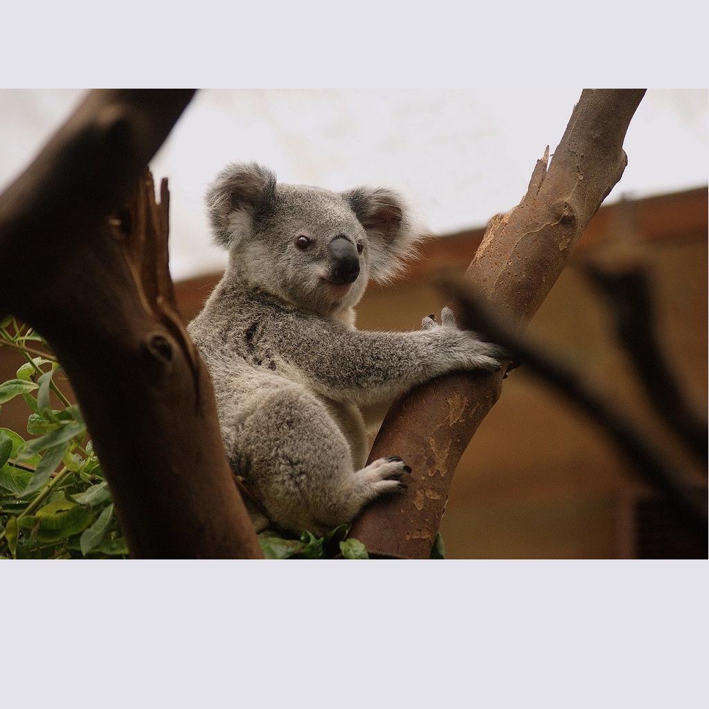 Koala pericolo estinzione: gli incendi li faranno sparire per sempre