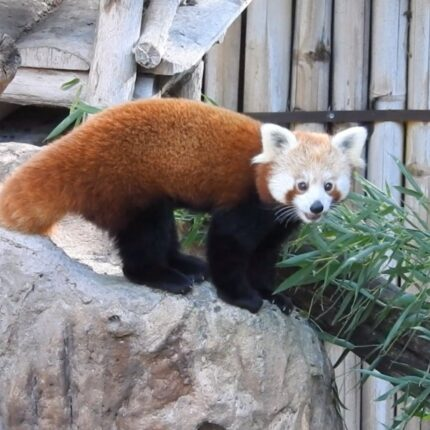 Panda rosse in Italia