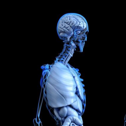 scoperti nuovi organi nel cranio umano