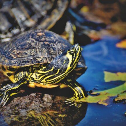 Gerarchie sociali delle tartarughe