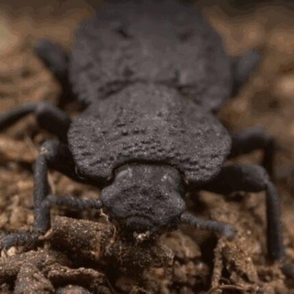 Lo scarabeo indistruttibile