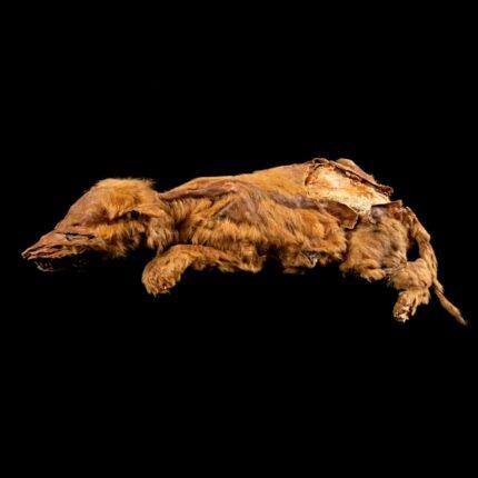 Mummia di lupo più antica