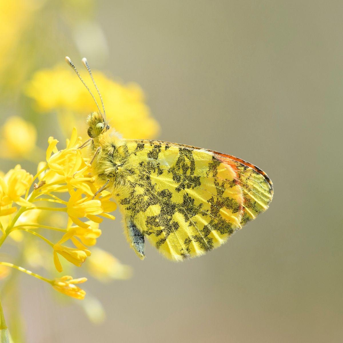 La mappatura delle farfalle europee