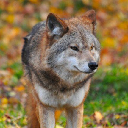 Il lupo della Maiella